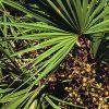 220px-Serenoa_repens_USDA1